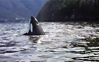 Orcas give amazing show in Átl'ḵa7tsem / Howe Sound
