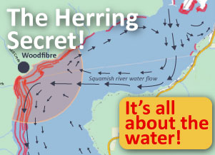 Herring is around Woodfibre for a reason!